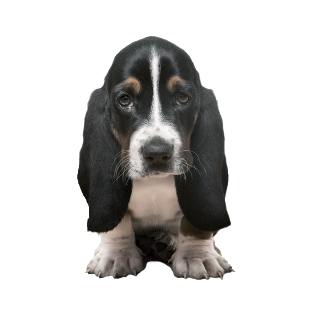 Dog Training Home Basset Dog